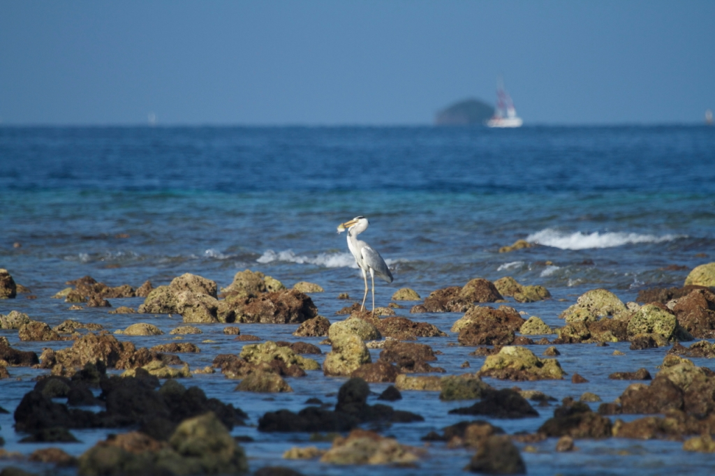 This grey heron is one of the resident birds of Thamburudhoo.